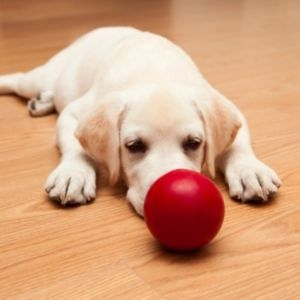White puppy with red ball