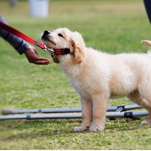 Easy puppy training Golden retriever being stubborn.
