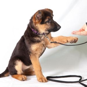 Secrets to Easy puppy Training - Happyoodles.om Pic by Canva - German Shepherd Puppy giving paw