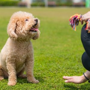 10 Secrets to Easy Puppy training  Happyoodles.com  Poodle being trained