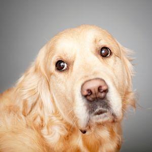 Golden Retriever Rescue - Happyoodles.com Adult Golden Retriever - Canva