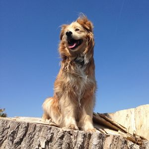 Golden Mix Breed outside